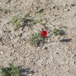 Växtkraften hos vallmon är stark och den dyker upp ur den till synes uttorkade marken. Foto: Försvarsmakten Carin Bergensten
