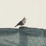 Den vanligaste fågeln i ökenområdet i Afghanistan är Tofslärkan som man möter dagligen på campen. Foto: Försvarsmakten/Carin Bergensten