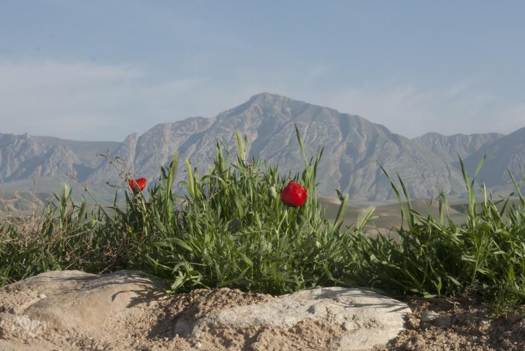 Snön är borta från bergen och vallmon står i full blom. Foto: Försvarsmakten/Carin