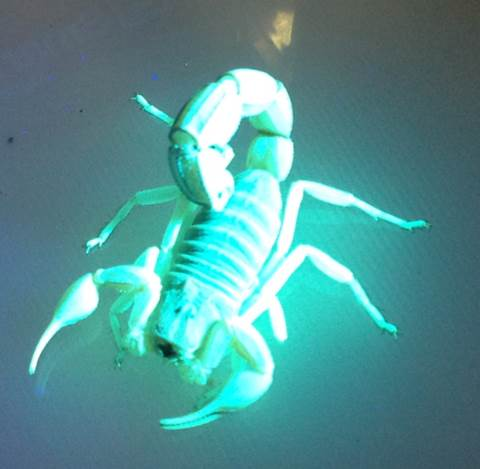Black Scorpion i UV ljus